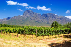Vineyard in province West Cape(South Africa). Vineyard and mountains in province West Cape(South Africa Royalty Free Stock Image