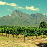 Vineyard in province West Cape(South Africa) Stock Photography