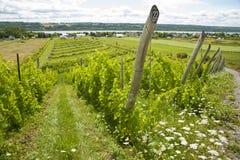 Vineyard in Quebec Stock Photo