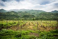 Vineyard. In Racha region, Georgia, Caucasus Stock Photos