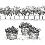 Vineyard and grapes in basket. Isolated on white background. Hand drawn vector illustration Stock Image