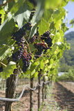 Vineyard ready to harvest Stock Image