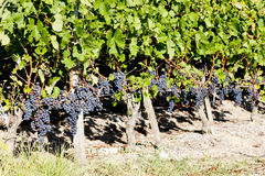 Vineyard with red grapes Royalty Free Stock Images