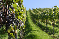 Vineyard with red grapes Stock Images