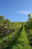 Vineyard with red grapes Royalty Free Stock Image