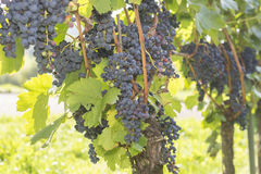 Vineyard with red grapes, Waldkirch, Baden Württemberg, Germany Royalty Free Stock Images