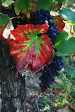 Vineyard of red wine in Alsace, France. Grape in a vineyard and a red leaf, Alsace region Stock Images