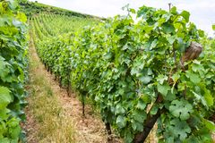 Vineyard in region of Alsace Wine Route in summer. Travel to France - vineyard in region of Alsace Wine Route in summer day Stock Photo
