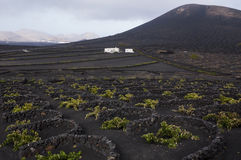 Vineyard region of Lanzarote; Canary Islands Royalty Free Stock Photo