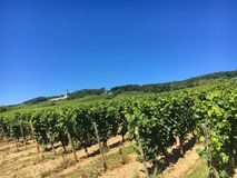 Vineyard at Rheingau, Germany Royalty Free Stock Photos