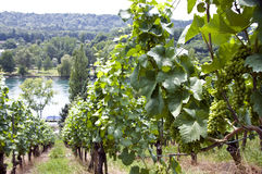 Vineyard at the Rhine river Stock Photos