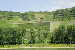 Vineyard in rhine valley Royalty Free Stock Photo