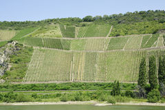 Vineyard in rhine valley Royalty Free Stock Images