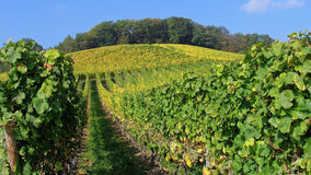 Vineyard in the Rhine valley, Germany Royalty Free Stock Image