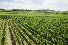 Vineyard in rhine valley,germany,europe. Royalty Free Stock Photography