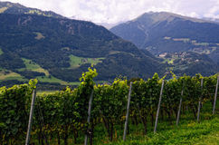 Vineyard in Rhine Valley (Graubünden, Switzerland), with Grapes Ripening in Late Summer Royalty Free Stock Photos