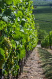 Vineyard in Rhineland Palatinate Royalty Free Stock Photos