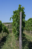 Vineyard in Rhineland Palatinate Stock Photos