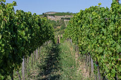 Vineyard in Rhineland Palatinate Royalty Free Stock Images