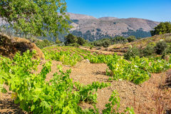 Vineyard. Rhodes, Greece Royalty Free Stock Images