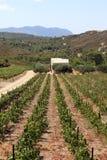 Vineyard in Rhodes island Stock Images