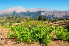 Vineyard. Rhodes island, Greece Stock Photos