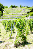 Vineyard, Rhone-Alpes, France Stock Image