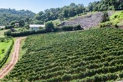 Vineyard in Rio Grande do Sul Royalty Free Stock Photo
