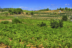 Vineyard with ripe grapes in Catalonia, Spain. View of a vineyard with ripe grapes in Catalonia, Spain royalty free stock photography