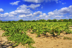 Vineyard with ripe grapes in Catalonia, Spain Stock Image