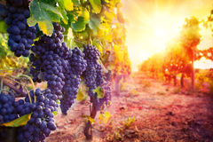 Vineyard with ripe grapes in countryside. At sunset Royalty Free Stock Images