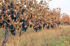 Vineyard with ripe grapes Stock Photography