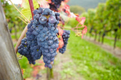 Vineyard with ripe grapes for red Stock Images