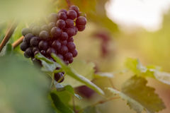 Vineyard with ripe grapes at sunset Stock Photo