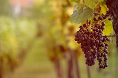Vineyard with ripe grapes at sunset Stock Image