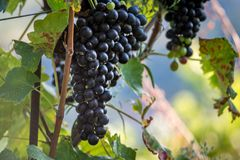 Vineyard with ripe grapes stock image