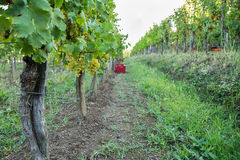 Vineyard with ripe grapes Royalty Free Stock Photography