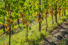 Vineyard with ripe grapes Royalty Free Stock Image