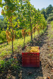 Vineyard with ripe grapes Royalty Free Stock Photos
