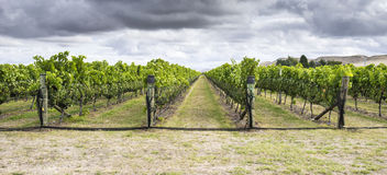 Vineyard with ripe red grapes Royalty Free Stock Photos
