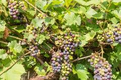 Vineyard with ripe vines, Germany stock photos