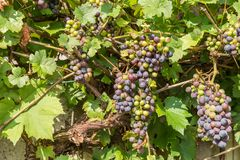 Vineyard with ripe vines, Germany royalty free stock photography