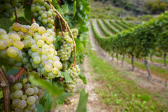 Vineyard with ripe white vine Royalty Free Stock Image