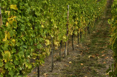 Vineyard of Riquewihr in Alsace Stock Image