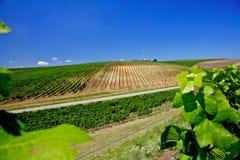 Vineyard in Romania Stock Image