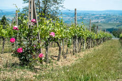 Vineyard with roses Stock Photography