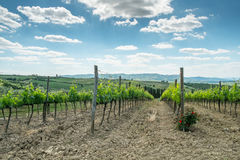 Vineyard with roses. In Tuscany in the spring, Italy Stock Photography