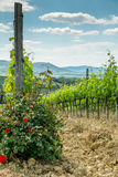 Vineyard with roses. In Tuscany in the spring, Italy Royalty Free Stock Photography