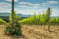 Vineyard with roses. In Tuscany in the spring, Italy Royalty Free Stock Images
