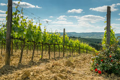 Vineyard with roses. In Tuscany in the spring, Italy Stock Photos